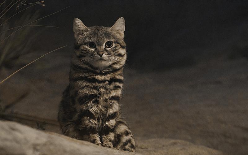世界最小の猫クロアシネコに会える場所は日本にありますか?