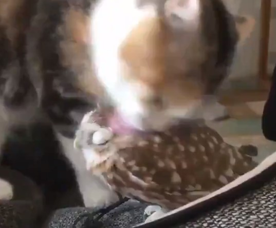 ネコちゃんとフクロウさんとっても仲良しな2匹