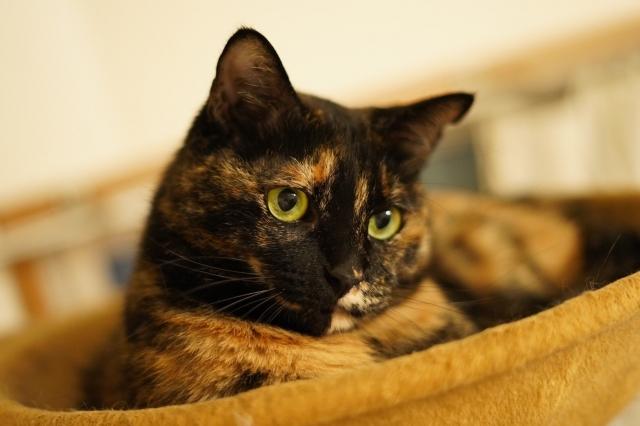 サビ猫ってどんな性格なの?特徴や迎え方、幸運を呼ぶ理由について