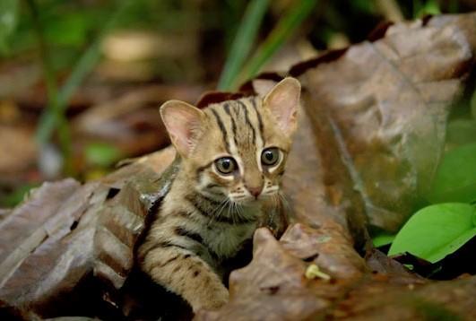 サビイロネコは世界で一番小さい猫です。日本の動物園にいる?